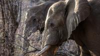 Les éléphants africains en liberté dans la nature ne dorment en moyenne que deux heures par jour et restent régulièrement sans sommeil pendant près de 48 heures. [GIANLUIGI GUERCIA / AFP/Archives]