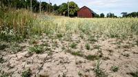 Un champ de blé frappé par la sécheresse à Taby, dans le centre de la Suède, le 9 juillet 2018 [Christine Olsson / TT NEWS AGENCY/AFP/Archives]
