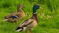 Les canards sont utilisés pour obliger les automobilistes à ralentir