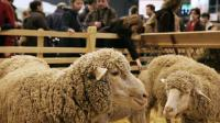 Des moutons mérinos exposés le 26 février 2006 au Salon de l'agriculture de Paris [Olivier Laban-Mattei / AFP/Archives]