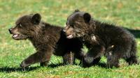Masha et Brundo deux oursons sauvés d'une mort certaine par l'homme mais arrachés à la vie sauvage à Blisna à 20 km de Podgorica au Monténégro, le 28 mars 2017 [SAVO PRELEVIC / AFP/Archives]