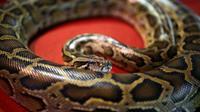 Un python [Mohd Rasfan / AFP/Archives]