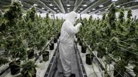 Un employé s'occupe de plants de cannabis à des fins médicales, le 5 décembre 2016 à Smiths Falls au Canada      [Lars Hagberg / AFP/Archives]