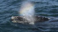 Une baleine le 2 octobre 2015 au large de Puerto Piramides en Argentine  [JUAN MABROMATA / AFP]