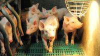Des porcs dans une exploitation porcine bretonne, le 11 août 2015 à Ploneour-Lanvern [FRED TANNEAU / AFP/Archives]