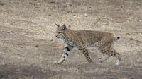Le lynx ressemble beaucoup au chat, mais possède une queue bien plus petite.