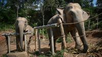 """Deux éléphantes au """"sanctuaire pour éléphants"""" de ChangChill, le 6 novembre 2019 près de Chiang Mai, en Thaïlande [Lillian SUWANRUMPHA / AFP]"""