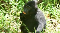 Le macaque noir aux yeux ambrés le 19 février 2017 dans la province de Sulawesi en Indonésie [Bay ISMOYO / AFP/Archives]