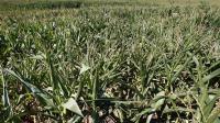 Un champ de maïs transgénique, le 4 août 2007 à Paillet, en Gironde lors d'une opération anti-OGM.  [Jean-Pierre Muller / AFP/Archives]
