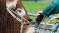 Un fermier nettoie le nez d'un taureau avant une compétition au Sommet de l'élevage à Cournon-d'Auvergne, en France, le 4 octobre 2017 [Thierry Zoccolan / AFP]