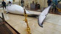 Photographie non datée d'une baleine de Minke sur le pont d'un navire dans l'océan Antarctique, fournie par l'Institut de recherche sur les cétacés le 18 novembre 2014 [Institute of Cetacean Research / FILES/AFP/Archives]