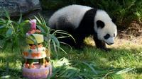 Le bébé panda Yuan Meng, un an, découvre son gâteau d'anniversaire dans son enclos du zoo de Beauval, le 4 août 2018 à Saint-Aignan-du-Cher [GUILLAUME SOUVANT / AFP]