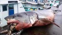 Le requin a été retrouvé dans les filets d'un bateau de pêche