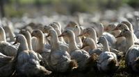 Abattage massif de canards d'élevage dans 150 communes du Sud-Ouest de la France [IROZ GAIZKA / AFP/Archives]