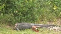 Cet alligator sans tête a été retrouvé en Floride