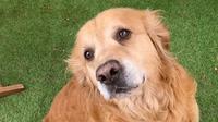 Le Golden Retriever est considéré comme la «crème des chiens».