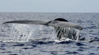 Une baleine bleue au large des côtes sri lankaises, le 26 mars 2009 [Ishara S. KODIKARA / AFP/Archives]
