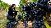 Un vignoble bio à Sainte-Foy-la-Grande, près de Bordeaux, le 21 septembre 2018 [GEORGES GOBET / AFP/Archives]