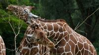 Des girafes au zoo Hellabrunn de Munich, le 12 juillet 2019 en Allemagne [Christof STACHE / AFP]
