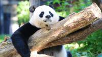 Un panda géant dans le zoo de Washington, le 24 août 2016 [Karen BLEIER / AFP/Archives]