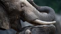 Un éléphant le 23 juillet 2013 dans un zoo en Allemagne [Federico Gambarini / DPA/AFP/Archives]