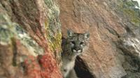 Un coureur a tué à mains nues un puma dans le Colorado [HO / US FISH & WILDLIFE SERVICES/AFP/Archives]
