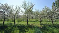 Certains arboriculteurs comme à Vernouillet, dans les Yvelines, subissent une perte totale de leur production à cause des inondations [MYCHELE DANIAU / AFP/Archives]