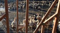La zone d'abattage préventif étendue à 184 communes dans le Sud-Ouest de la France  [REMY GABALDA / AFP/Archives]
