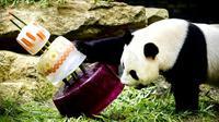 Des gâteaux glacés pour l'anniversaire de deux pandas dans le zoo de Rhenen, aux Pays-Bas, le 8 août 2017  [Remko DE WAAL / ANP/AFP]