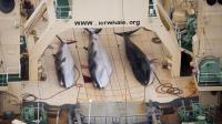 Le 5 janvier 2014, trois baleines sur le pont du navire-usine japonais Nisshin Maru [Tim Watters / Sea Shepherd Australia Ltd/AFP]