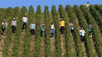 Des vendangeurs dans une vigne de Buxeuil, dans l'Aube, le 24 septeùbre 2013 [François Nascimbeni / AFP]