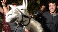 Des jeunes à Bordeaux le 7 novembre en compagnie du lama qu'ils nommé Serge, en référence au chanteur Serge Lama [Medi Fedouach / AFP]