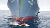 Photo d'archives non datée, transmise le 7 février 2008, montrant une baleine capturée par un navire japonais dans l'océan Antarctique [ / Douanes australiennes/AFP/Archives]