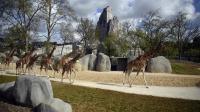 Des girafes le 8 avril 2014 a zoo de Vincennes  [Martin Bureau / AFP]