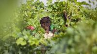 Une femme récolte les grappes de raisins dans les vignobles du groupe Castel près de Ziway en Ethiopie, le 12 juin 2014 [Zacharias Abubeker / AFP]