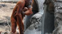 Tori, femelle orang-outan, et son bébé dans le zoo de Solo, sur l'île de Java en Indonésie, le 28 septembre 2012 [Anwar Mustafa / AFP]
