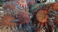 Photo de l'Institut australien des Sciences marines (AIMS), diffusée le 2 octobre 2012 et montrant une étoile de mer mangeuse de corail [Katharina Fabricius / AIMS/AFP]