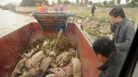 Quelques cadavres de porcs repêchés dans le fleuve traversant Shanghai, le 11 mars 2013 [Peter Parks / AFP]