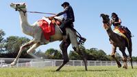 """Une course peu commune se tient dimanche, dans la Sarthe, au milieu des champs: neuf dromadaires n'ayant jamais vu le désert sont au départ de la première """"coupe de France"""" de la catégorie, montés par des jockeys français plus ou moins confirmés.[AFP]"""