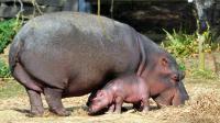 Un bébé hippopotame de 50 kilos, appartenant à l'espèce hippopotamus amphibius, est né le 7 septembre au parc animalier Planète Sauvage à Port Saint-Père, près de Nantes, s'est félicité le zoo mercredi. [AFP]