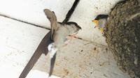 Une hirondelle nourrit un oisillon dans son nid, le 18 septembre 2012 à Hamel, dans le nord de la France [Philippe Huguen / AFP]