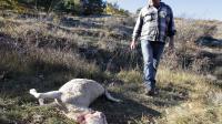 Bernard Bruno, un berger du plateau de Caussols dans les Alpes-Maritimes, regarde l'une de ses brebis tuée par un loup, le 7 novembre 2012 [Jean-Christophe Magnenet / AFP]