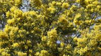 Des mimosas cultivés à Tanneron (Var), le 7 février 2013 [Valery Hache / AFP/Archives]