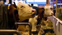 Des vaches au Salon de l'Agriculture, à Paris, le 26 février 2016 [MIGUEL MEDINA / AFP]