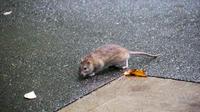 À New York, la population de rats aurait augmenté d'au moins 15% en 5 ans selon un expert