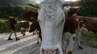 L'éructation des ruminants mise en cause parmi les explications à la flambée depuis dix ans des émissions de méthane. Photo du 1er octobre 2016 dans les Alpes [CHRISTOF STACHE / AFP/Archives]