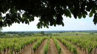 Un vignoble de Sauternes, le 15 juin 2013 [Nicolas Tucat / AFP]