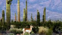 Photo fournie par la réserve de la biosphère de Pinacate et du désert d'Altar d'un mâle antilope de Sonoran, le 23 mars 2016 près de la frontière entre le Mexique et les Etats-Unis [MIGUEL ANGEL GRAGEDA / AFP]