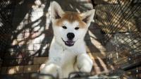 Un chien Akita le 3 avril 2018 dans un élevage à Takasaki, au Japon [Behrouz MEHRI / AFP]