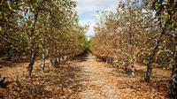 Des arbres fruitiers touchés par la sécheresse dans une ferme de Piketberg, au nord du Cap, le 7 mars 2018 [WIKUS DE WET / AFP]